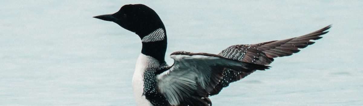 Enjoy Loon Watching – A Favorite Up North Minnesota Pastime